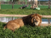 Safari Ravenna leone_4